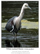 White-faced Heron (Ardea Pacifica) by Ian