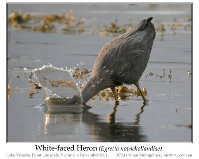White-faced Heron (Egretta novaehollandiae) by Ia