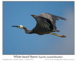 Ian's Bird of the Week – White-faced Heron