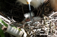 Snowy Egret Baby by Dan 2