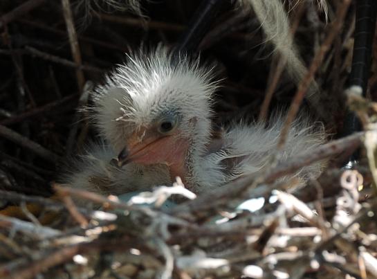 Snowy Egret Baby by Dan