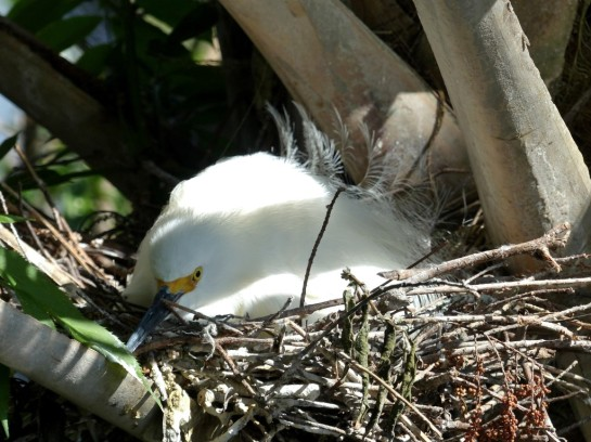 Snowy Egret Dat at Nest by Lee