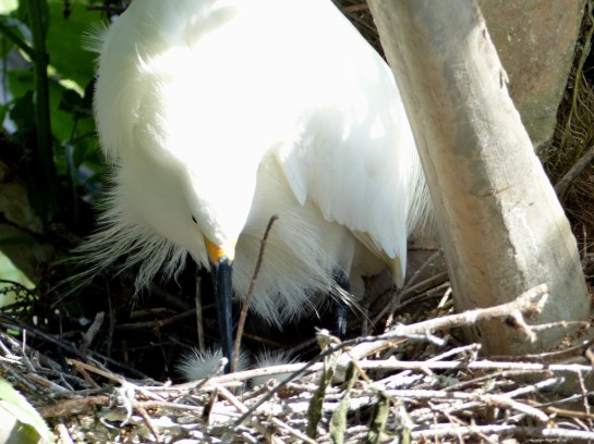 Snowy Egret in Nest with babies by Lee