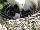 Snowy Egret in Nest with babies by Dan