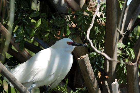 Snowy Egret y Dan (1)