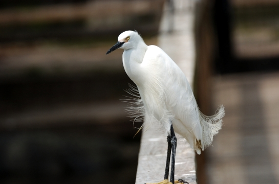 Snowy Egret y Dan (3)