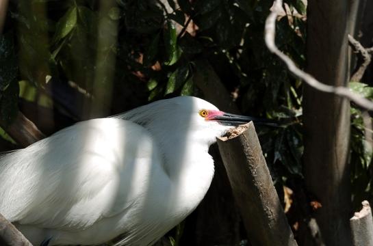 Snowy Egret y Dan