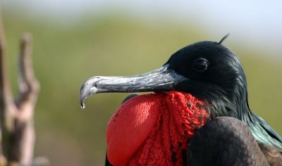 Great Frigatebird (Fregata minor) Male ©WikiC
