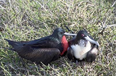 Great Frigatebird (Fregata minor) pair ©Flickr Len Blumin