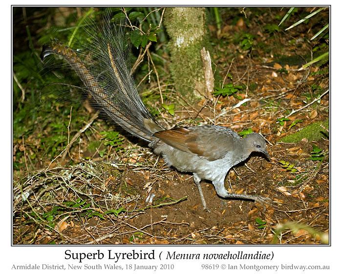 Superb Lyrebird (Menura novaehollandiae by Ian