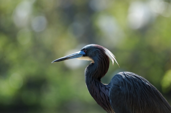 Tricolored Heron by Dan (1)