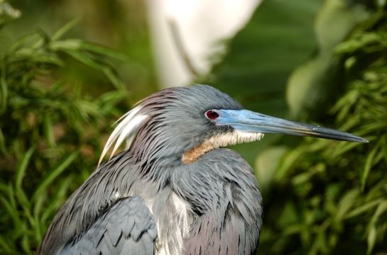 Tricolored Heron by Dan (2)