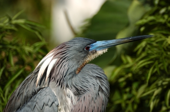 Tricolored Heron by Dan (3)