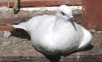 White Homing Pigeon © WikiC