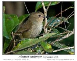 Ian's Bird of the Week – AthertonScrubwren