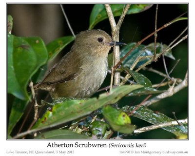 Atherton Scrubwren (Sericornis keri) by Ian