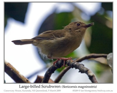 Large-bill Scrubwren by Ian