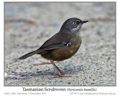 Tasmanian Scrubwren (Sericornis humilis) by Ian