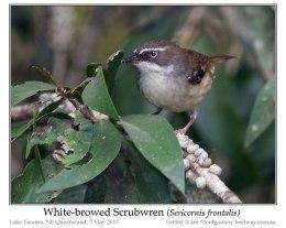 Ian's Bird of the Week – White-browedScrubwren