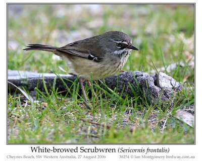 White-browed Scrubwren (Sericornis frontalis) by Ian