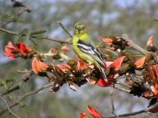 Marshall's Iora (Aegithina nigrolutea) ©WikiC