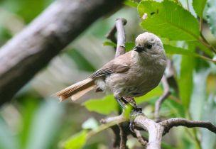 Whitehead (Mohoua albicilla) ©WikiC Roger South