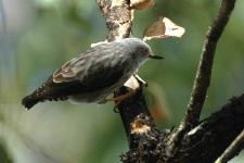 Varied Sittella (Daphoenositta chrysoptera) ©WikiC