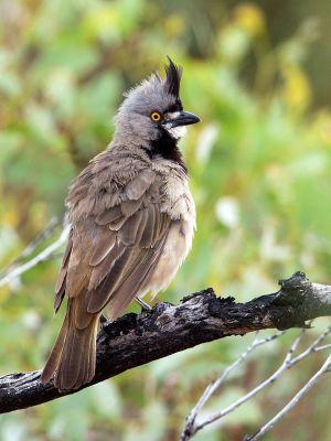 Crested Bellbird (Oreoica gutturalis) ©WikiC