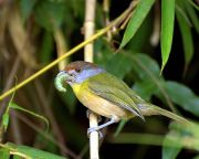 Rufous-browed Peppershrike (Cyclarhis gujanensis) ©WikiC