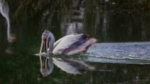 Pelican Reaching in water - Flickr Nagarajan Kanna