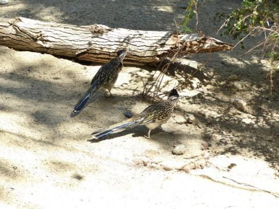 Roadrunner at Living Desert Zoo CA (14)_01