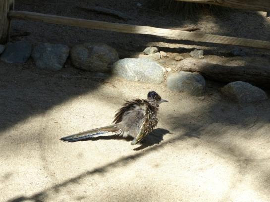 Roadrunner at Living Desert Zoo CA (2)_01