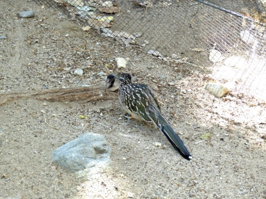 Roadrunner with mouse at Living Desert Zoo CA by Lee