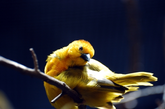 Taveta Weaver by Dan