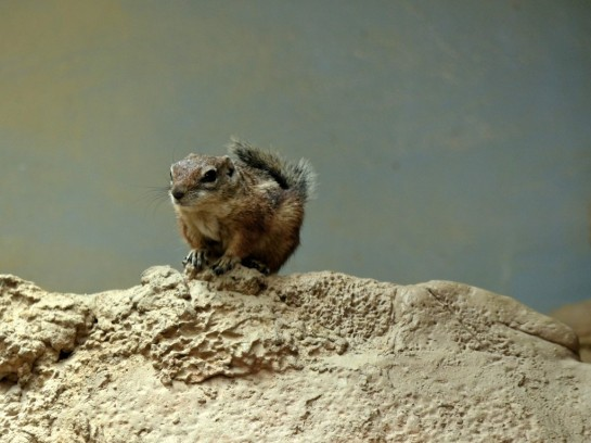 Antelope Ground Squirrel Houston Zoo 5-6-15 by Lee (10)