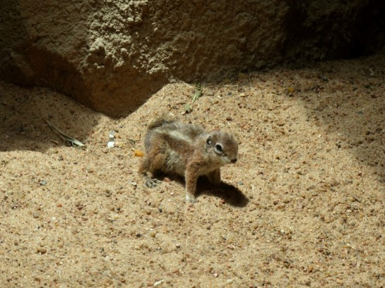 Antelope Ground Squirrel Houston Zoo 5-6-15 by Lee (2)