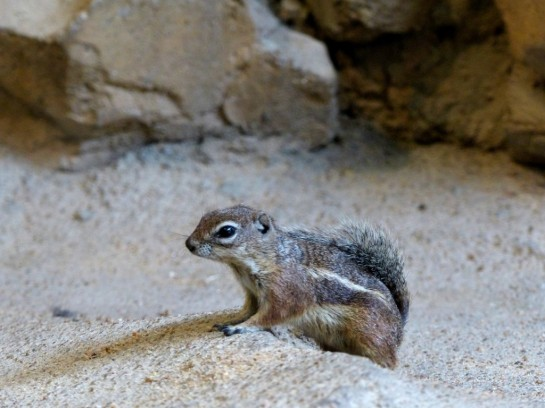 Antelope Ground Squirrel by Lee