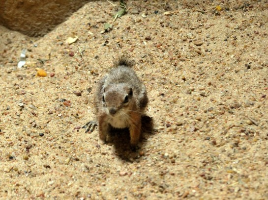 Antelope Ground Squirrel Houston Zoo 5-6-15 by Lee (5)