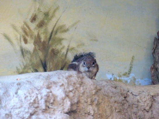 Antelope Ground Squirrel Houston Zoo 5-6-15 by Lee (6)