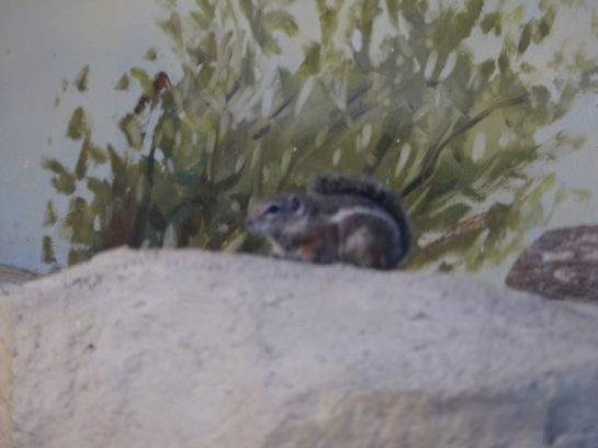 Antelope Ground Squirrel Houston Zoo 5-6-15 by Lee (8)