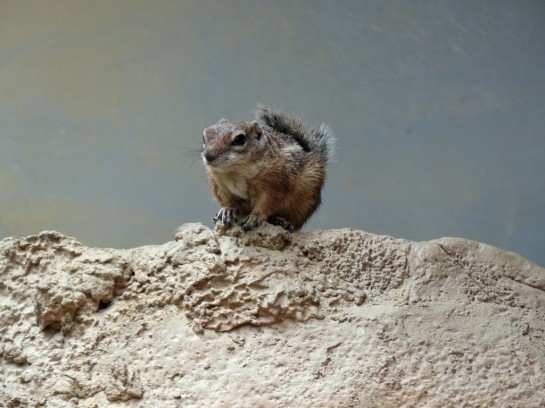 Antelope Ground Squirrel at Houston Zoo 5-6-15 by Lee