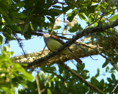 Great Crested Flycatcher outside motel in Tallahassee