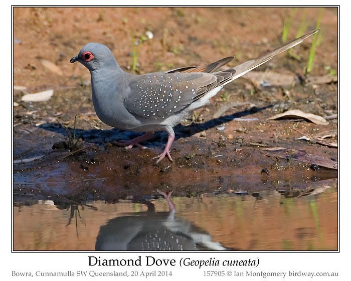 Ians Bird Of The Week Diamond Dove Lees Birdwatching