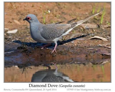 Diamond Dove (Geopelia cuneata) by Ian 1