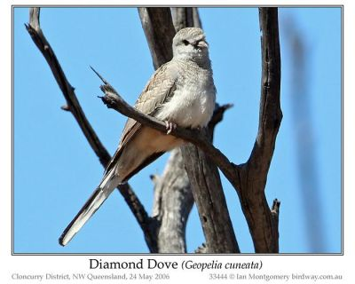 Diamond Dove (Geopelia cuneata) by Ian
