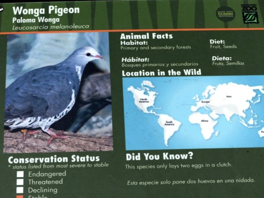 Wonga Pigeon (Leucosarcia melanoleuca) Houston Zoo by Lee