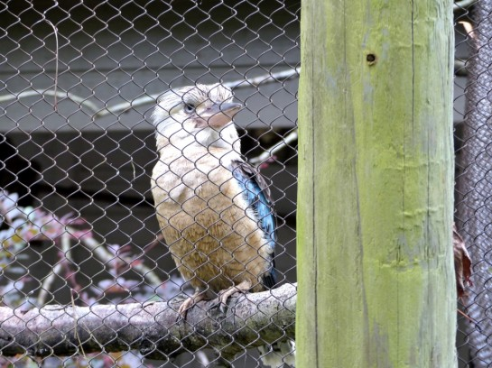 Blue-winged Kookaburra (Dacelo leachii) Houston Zoo 5-6-15 by Lee
