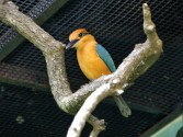 Micronesian Kingfisher (Todiramphus cinnamominus) Houston Zoo 5-6-15 by Lee