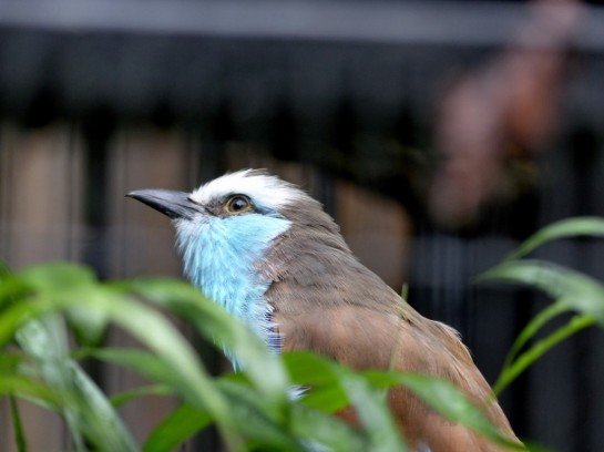 Racket-tailed Roller (Coracias spatulatus) Houston Zoo 5-6-15 by Lee