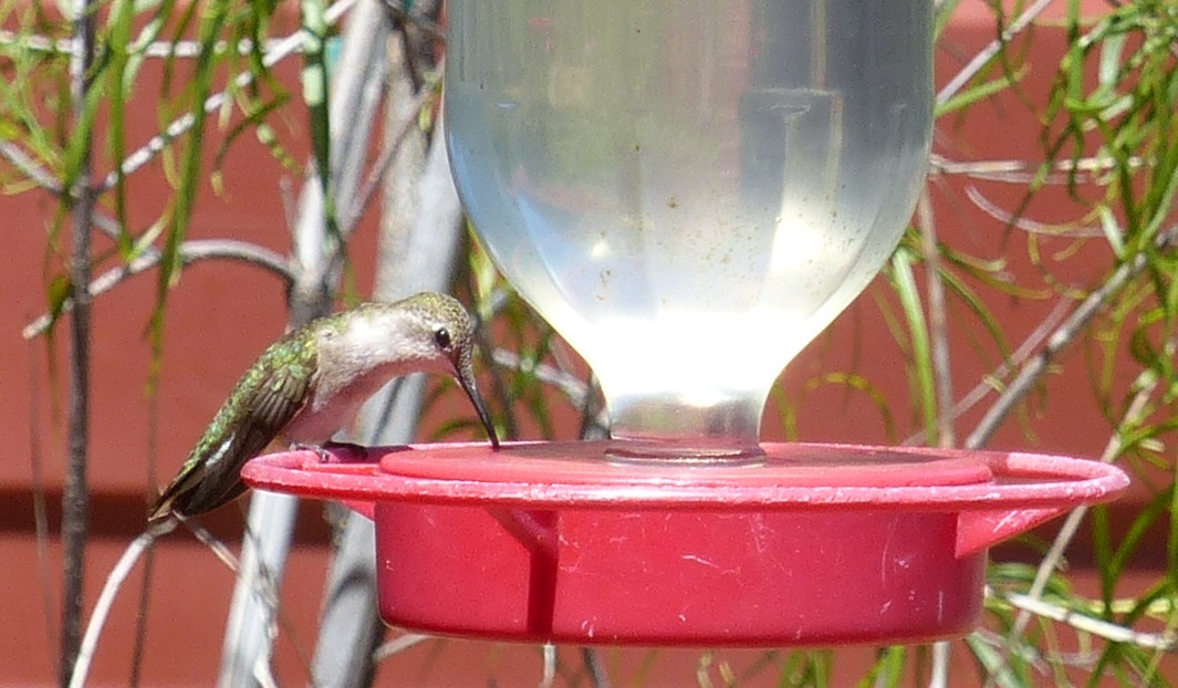 Costa's Hummingbird - I think - California